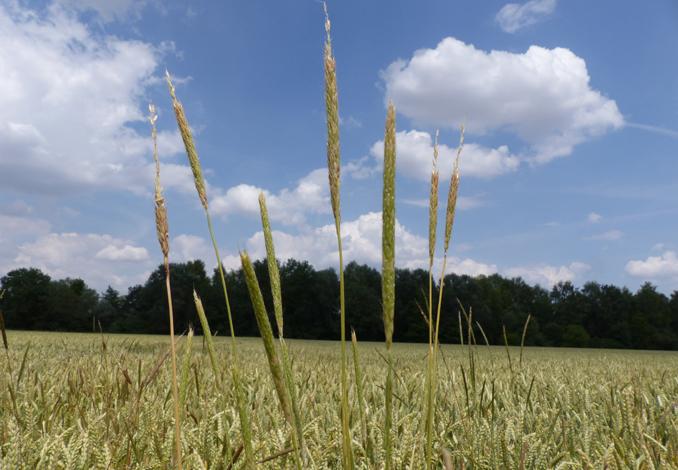 Black grass in wheat field