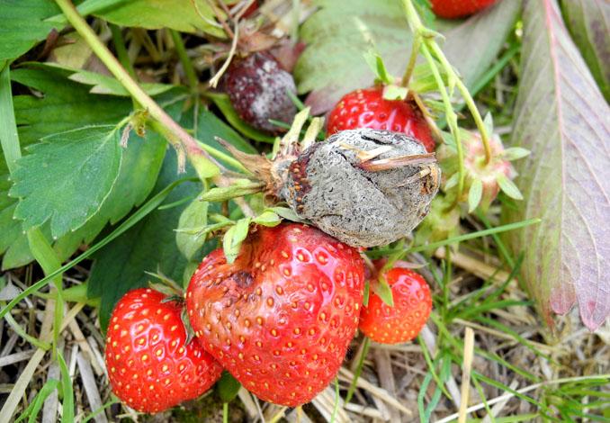 Pourriture grise sur fraise